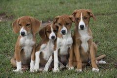 4 прелестных коричневых щенят прижатого в зеленой траве Стоковые Фото