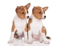 2 прелестных красных щенят basenji сидя близко Стоковое фото RF