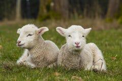 2 прелестных молодых овечки ослабляя в поле травы Стоковое Изображение