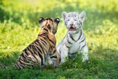 2 прелестных новичка тигра outdoors совместно Стоковые Изображения RF
