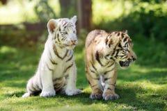 2 прелестных новичка тигра outdoors совместно Стоковые Изображения