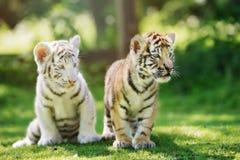 2 прелестных новичка тигра outdoors Стоковые Фотографии RF
