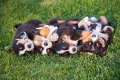 4 прелестных щенят спать на их задних частях Стоковые Изображения