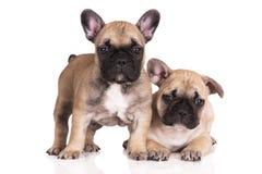 2 прелестных щенят французских бульдога Стоковые Фото
