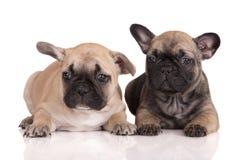 2 прелестных щенят французских бульдога Стоковые Фотографии RF