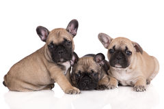 3 прелестных щенят французских бульдога Стоковые Фото