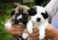 2 прелестных щенят Стоковая Фотография