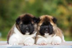 2 прелестных щенят akita американца Стоковая Фотография