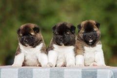 3 прелестных щенят akita американца Стоковые Изображения