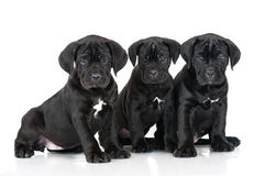 3 прелестных щенят corso тросточки Стоковое Фото