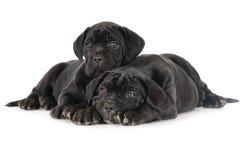 2 прелестных щенят corso тросточки Стоковая Фотография RF