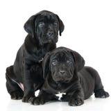 2 прелестных щенят corso тросточки Стоковая Фотография
