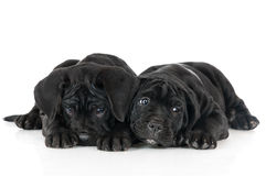 2 прелестных щенят corso тросточки Стоковое фото RF