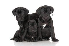 3 прелестных щенят corso тросточки Стоковое фото RF