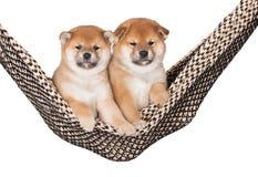 2 прелестных щенят inu shiba совместно в гамаке Стоковые Фотографии RF