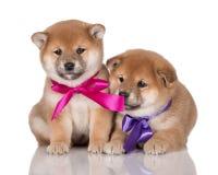 2 прелестных щенят inu shiba с лентами Стоковые Изображения