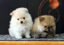 2 прелестных щенят Pomeranian Стоковое фото RF