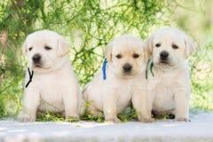 3 прелестных щенят retriever labrador Стоковое Изображение