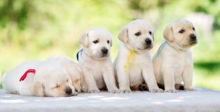 5 прелестных щенят retriever labrador Стоковые Фото
