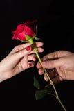 Предложенная красная роза Стоковая Фотография