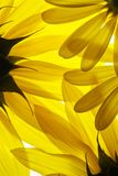 предпосылка цветет желтый цвет Стоковое Фото