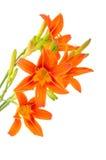 предпосылки белизна тигра lilly Стоковое Изображение