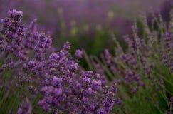 Предпосылка лаванды флористическая Стоковые Изображения