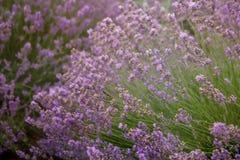 Предпосылка лаванды флористическая Стоковые Изображения RF