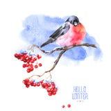 Предпосылка акварели зимы с Bullfinches Стоковая Фотография