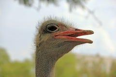 Предпосылка африканских животных животных страуса птичья Стоковые Фото