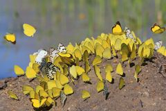 Предпосылка бабочки - желтые интерес и флаттер стоковое фото