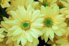 Предпосылка безшовной картины Gerbera флористическая Стоковое Фото