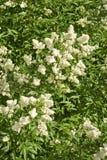 Предпосылка белизны зацветая весной privet куста Стоковые Фотографии RF