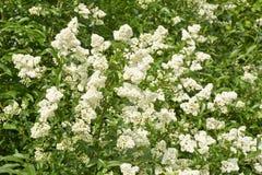 Предпосылка белизны зацветая весной privet куста Стоковая Фотография