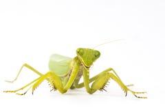 Предпосылка белизны насекомого Mantis Стоковая Фотография