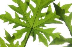 Предпосылка белизны нижнего взгляда лист папапайи Стоковое Фото