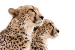 Предпосылка белизны портрета гепардов стоковая фотография rf