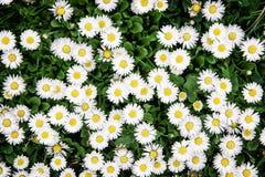 Предпосылка белого луга маргариток вол-глаза весной Стоковое Изображение