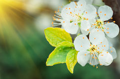 Предпосылка белого цветения сливы естественная Стоковая Фотография RF