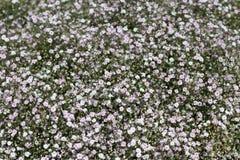 Предпосылка белого цветка - много белых цветков Стоковые Фотографии RF