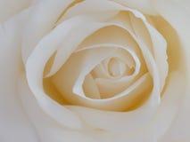 Предпосылка белой розы - фото запаса цветка Стоковая Фотография