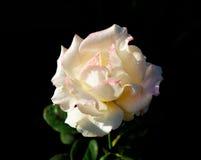 Предпосылка белой розы черная Стоковая Фотография