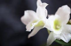 Предпосылка - белые цветки орхидеи на голубой предпосылке Стоковое фото RF