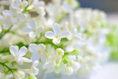 Предпосылка белых лепестков цветка романтичная Стоковая Фотография
