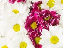 Предпосылка белых и фиолетовых хризантем Стоковое Фото