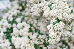 Предпосылка белых малых цветков, цветя куст Горизонтальная рамка Стоковое Фото