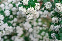 Предпосылка белых малых цветков, цветя куст, рамка цветков Горизонтальная рамка Стоковые Фотографии RF