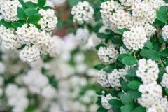 Предпосылка белых малых цветков, цветя куст, рамка цветков Горизонтальная рамка Стоковая Фотография