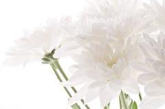 Предпосылка белых свежих красивых хризантем абстрактная Стоковое фото RF