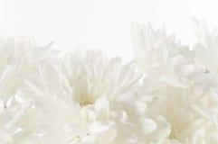 Предпосылка белых свежих красивых хризантем абстрактная Стоковая Фотография RF